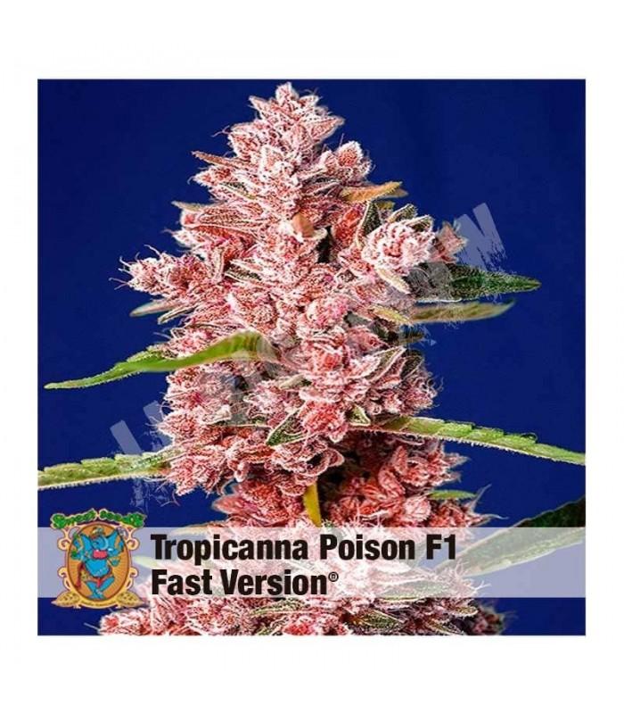 Semilla Tropicanna Poison F1 Fast Version de Sweet Seeds