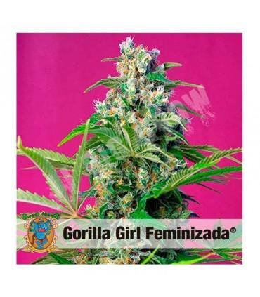Semilla feminizada Gorilla Girl de Sweet Seeds