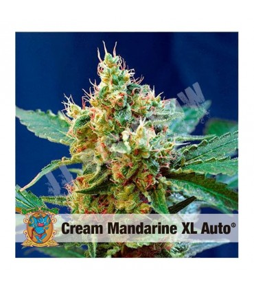 Semillas autoflorescientes Cream Mandarine XL de Sweet Seeds