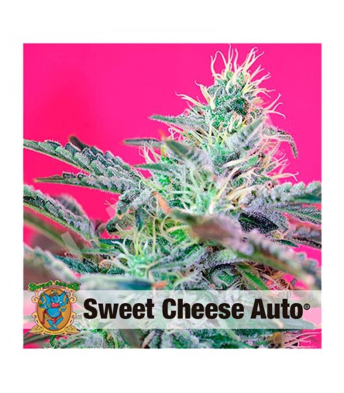 Semilla Autofloreciente Sweet Cheese de Sweet Seeds