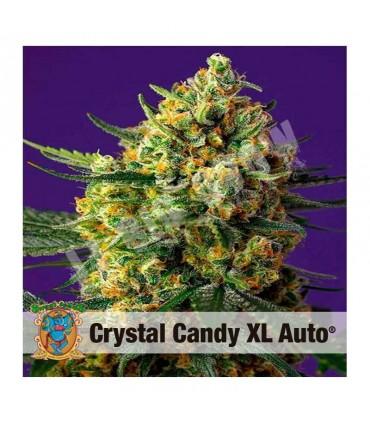 Semilla autofloreciente Crystal Candy XL Auto de Sweet Seeds