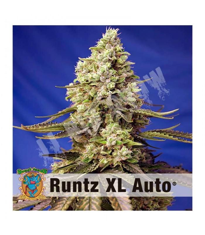 Semillas autoflorecientes Runtz XL Auto desarrolladas por Sweet Seeds