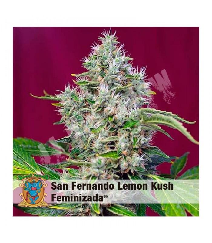 Semillas feminizadas San Fernando Lemon Kush de Sweet Seeds